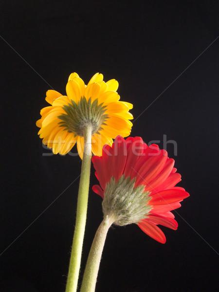 Amarillo rojo Daisy flores flor jardín Foto stock © shihina