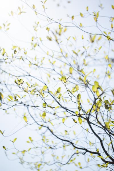 Fresh leaves of dogwood (Cornus florida) and sunshine Stock photo © shihina