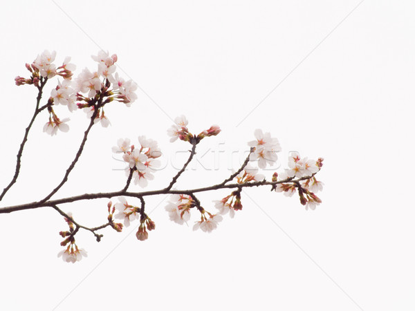 Yoshino cherry blossoms and blanch in the sky background Stock photo © shihina