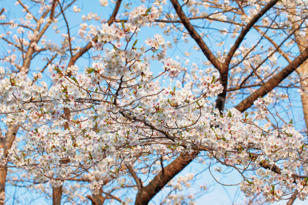桜 フル 咲く 春 背景 工場 ストックフォト © shihina