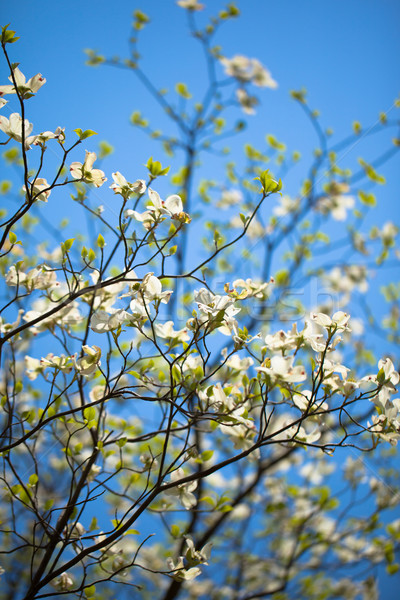 白 開花 ツリー フロリダ 咲く 青空 ストックフォト © shihina