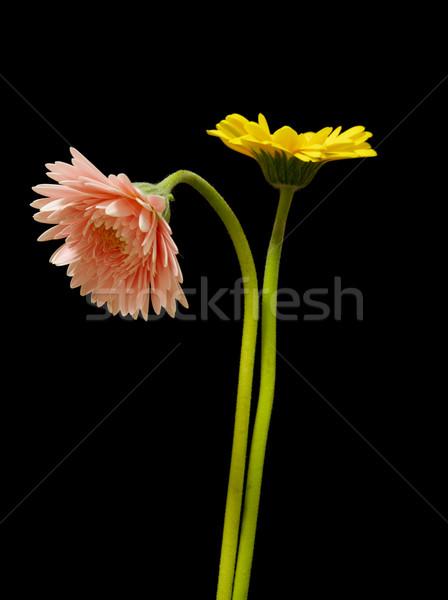 Lovely yellow and pink gerbera daisy flowers Stock photo © shihina