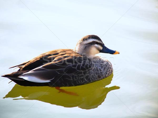 Hermosa pato masculina azul lago agua Foto stock © shihina
