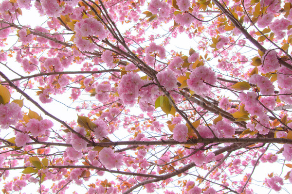 Blooming double cherry blossom branches and blue sky Stock photo © shihina