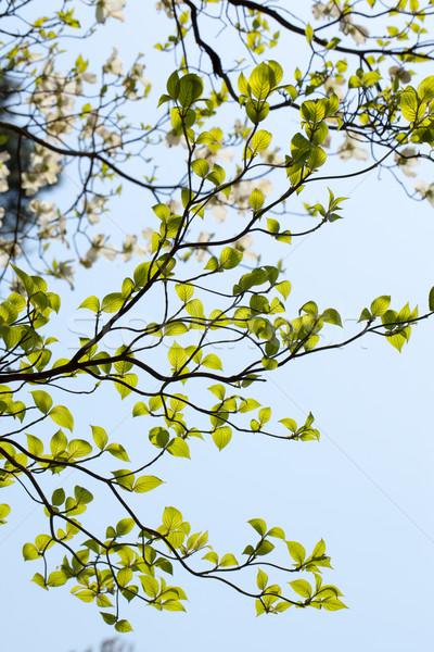 葉 フロリダ 青空 自然 美 白 ストックフォト © shihina