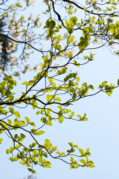 Leaves of dogwood (Cornus florida) and blue sky Stock photo © shihina