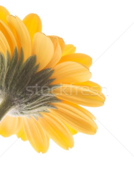 Amarillo Daisy flor resumen fondo arte Foto stock © shihina