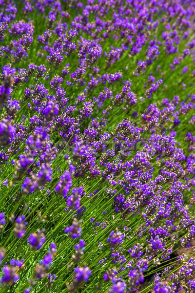 ラベンダー 花 フィールド 花 風景 緑 ストックフォト © shihina