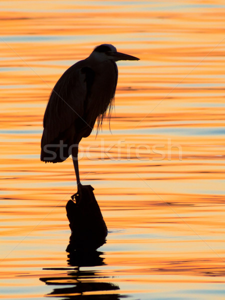 Grey heron, Ardea cinerea, silhouette standing on the sunset lake Stock photo © shihina