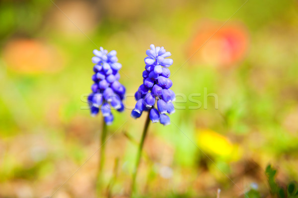 Close-up of flowers of Muscari Stock photo © shihina