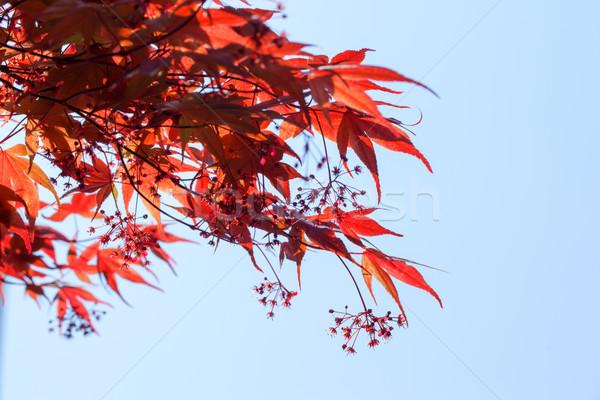 Rojo arce hojas cielo azul cielo resumen Foto stock © shihina