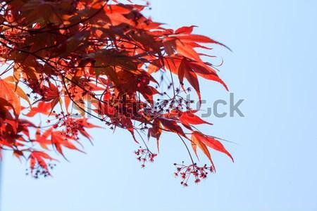 赤 メイプル 葉 青空 ツリー 風景 ストックフォト © shihina