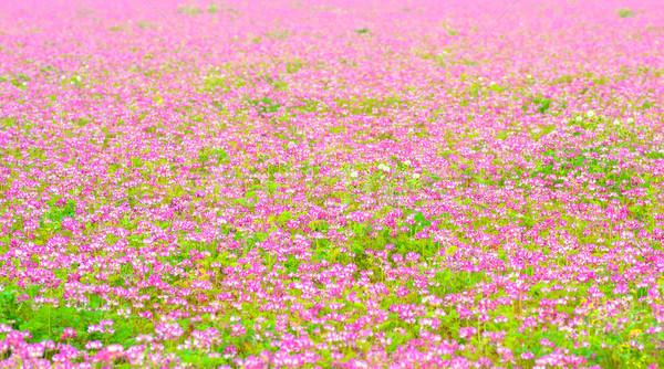 Campo chino leche temprano verano Foto stock © shihina