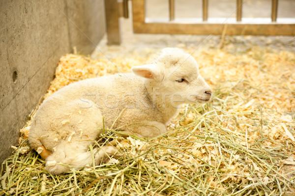 ストックフォト: 子供 · 小さな · ヤギ · 草 · 食べ · 動物