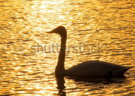 Yelkencilik kuğu arka ışık ışık kuş göl Stok fotoğraf © shihina