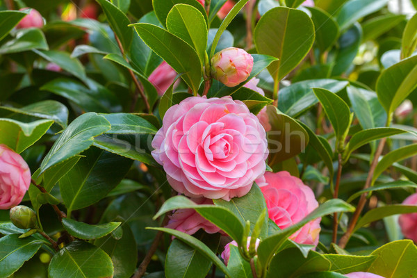 Pink Camellia sasanqua flower with green leaves Stock photo © shihina