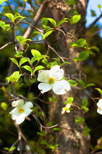 White flowering dogwood tree (Cornus florida) in bloom Stock photo © shihina