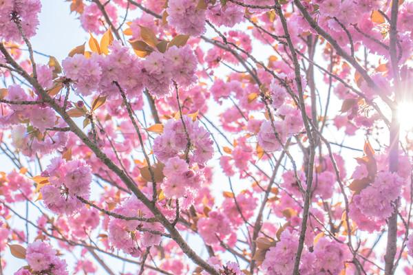 ダブル 桜 ツリー 太陽 光 ストックフォト © shihina
