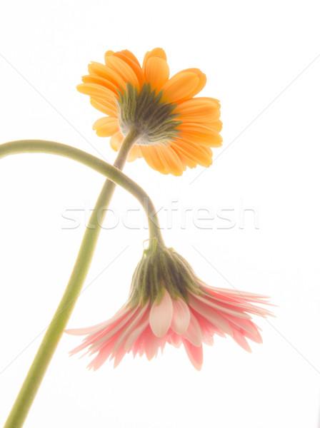 黄色 ピンク デイジーチェーン 花 クロス 庭園 ストックフォト © shihina
