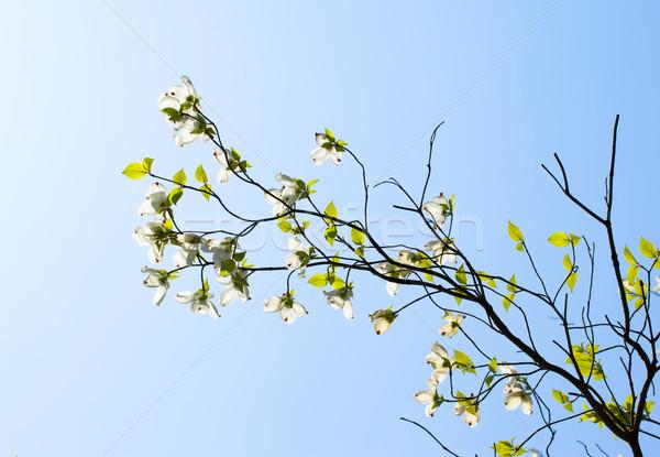 Branco florescimento árvore Flórida florescer luz solar Foto stock © shihina