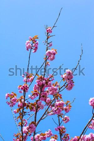 ダブル 桜 青空 花 春 ストックフォト © shihina