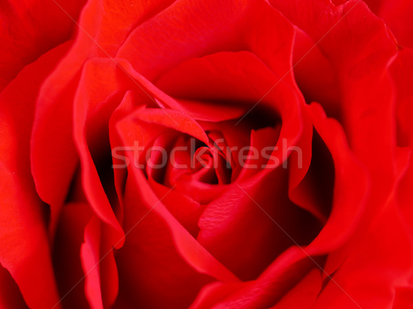 美しい 赤いバラ 中心 デザイン 美 ストックフォト © shihina