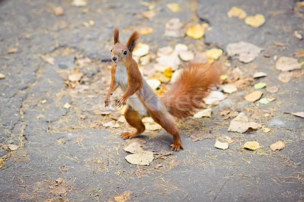 Dança esquilo engraçado animais animais de estimação pele Foto stock © shivanetua