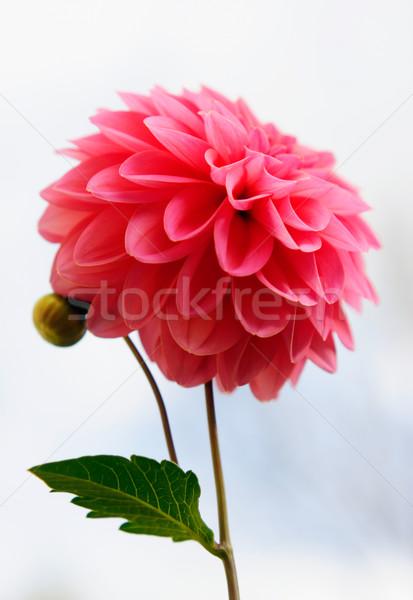 Virág rózsaszín dália szeretet ajándék ünnep Stock fotó © shyshka