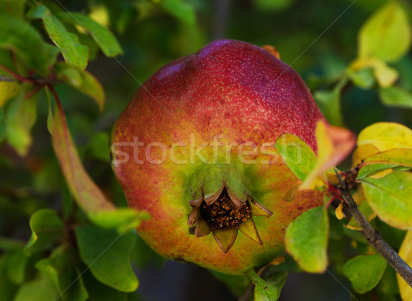 Grenade arbre fruitier arbre feuille rouge couleur Photo stock © shyshka