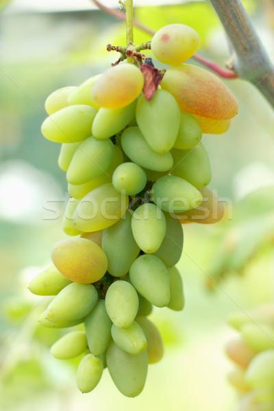 érett szőlő kész aratás közelkép kilátás Stock fotó © shyshka