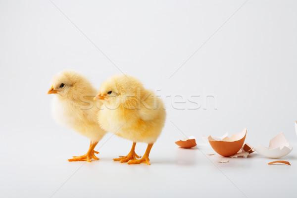 Deux peu né Pâques oeil oiseau Photo stock © shyshka