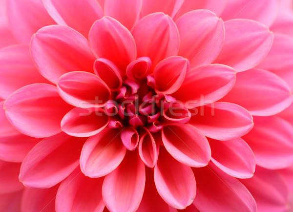 Fleur rose dahlia amour cadeau vacances Photo stock © shyshka