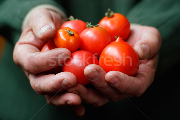 Tomatoes in hands of the old person Stock photo © shyshka