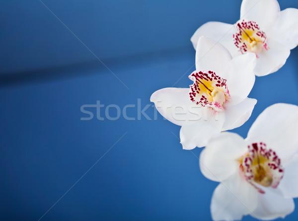 Blanche orchidées fleur bleu nature design Photo stock © shyshka