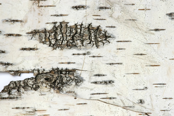 Bark of a birch Stock photo © sibrikov