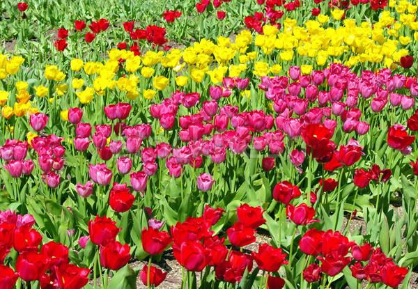 flowers Stock photo © sibrikov