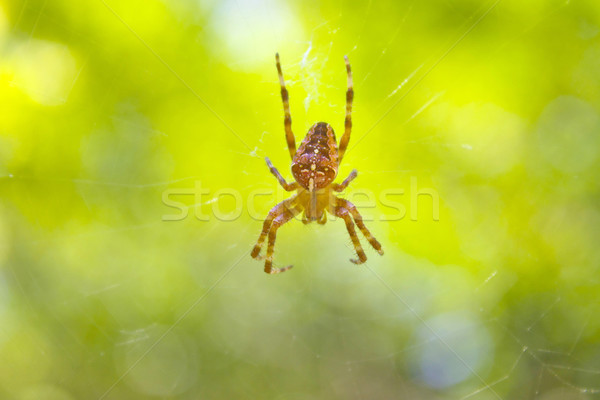 Small spider Stock photo © Silanti