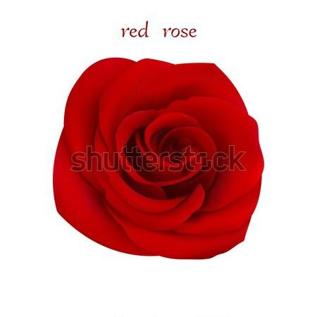 Red rose.  Stock photo © Silanti