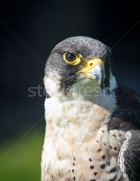 Peregrine Falcon Close Up Stock photo © silkenphotography
