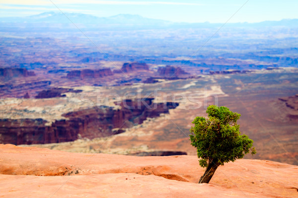 A tiny Utah juniper overlooks the canyons Stock photo © silkenphotography