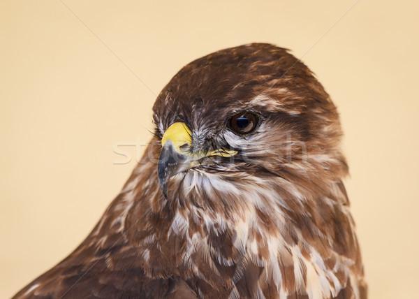 Tawny Eagle Peering Stock photo © silkenphotography