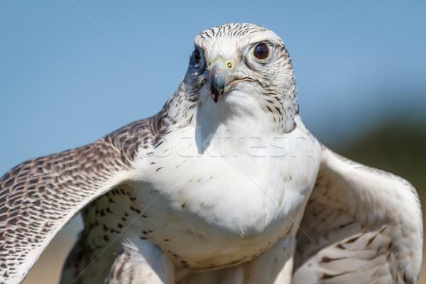 Vleugels eten buit natuur portret witte Stockfoto © silkenphotography