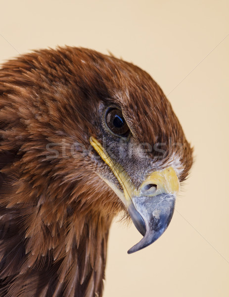 Glare of the Common Buzzard Stock photo © silkenphotography