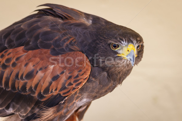 Tawny Eagle on Alert Stock photo © silkenphotography