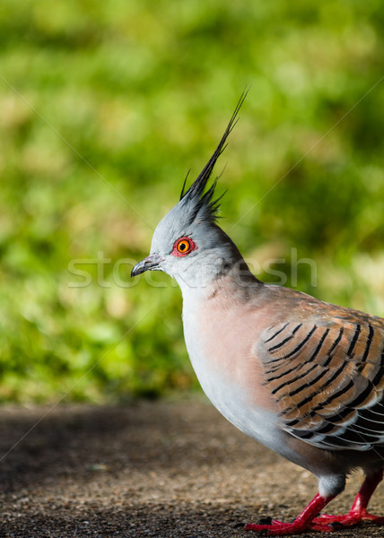 Crested Pigeon Stock photo © silkenphotography