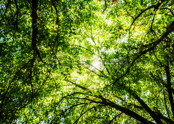 Backlit Green Forest Canopy Stock photo © silkenphotography