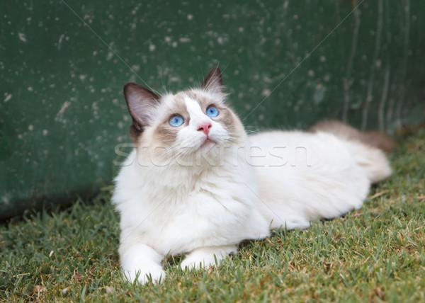 Ragdoll Kitten Watching the Sky Stock photo © silkenphotography