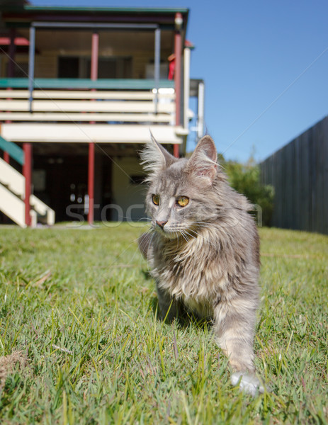 Grey tabby cat on the prowl Stock photo © silkenphotography