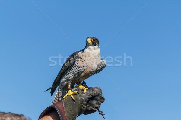 Peregrine Falcon Resting Stock photo © silkenphotography