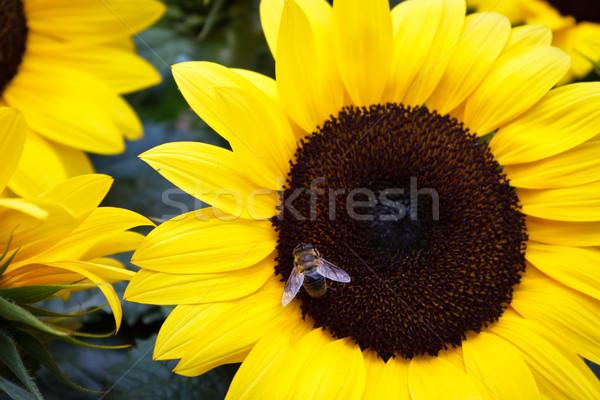 Méh napraforgó háziméh virágpor óriás nyár Stock fotó © silkenphotography